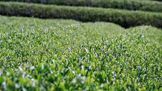 Aki_Japanese_Tea_plantation-1.jpg